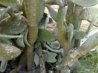 selva di opuntia vulgaris varietas ficus indica  - Caltagirone (2138 clic)