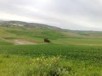 Campi di grano in fase di accestimento  - Canicattì (2698 clic)
