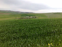 Campi di grano in fase di accestimento  - Canicattì (2983 clic)
