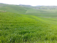 Campi di grano in fase di accestimento  - Canicattì (2937 clic)