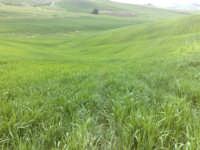 Campi di grano in fase di accestimento  - Canicattì (2804 clic)