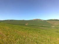 Campo di grano in fase di levata,   - Caltagirone (1579 clic)