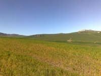 Campo di grano in fase di levata,   - Caltagirone (1491 clic)