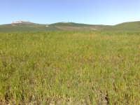 Campo di grano in fase di levata,  CALTAGIRONE GIACOMO  da KALAT JERON GALVANO