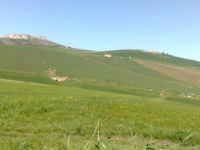 Campo di grano in fase di levata,   - Caltagirone (1497 clic)