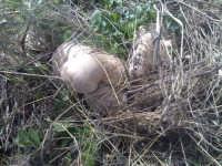 funghi  - Caltagirone (3541 clic)