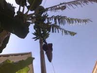 musa paradisiaca, apparato fiorale del banano  - Portopalo (3905 clic)