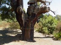 bosco santo pietro sughereta  - Caltagirone (2341 clic)