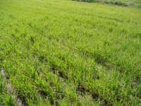 Campi agresti di frumento cultivar simeto in fase di emergenza.  - Assoro (4180 clic)