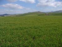 Campi agresti di frumento cultivar simeto in fase di emergenza.  - Assoro (4176 clic)