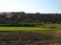 Campi agresti di frumento cultivar simeto in fase di emergenza.  - Assoro (4733 clic)