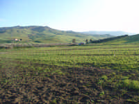 Campi agresti di frumento cultivar simeto in fase di emergenza.  - Assoro (4741 clic)