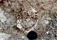 Sezione di zanna di Elephans Primigenius ritrovata alle porte di Ravanusa.  - Ravanusa (7673 clic)