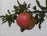 melograni (frutto che puoi trovare in paese nel mese di ottobre)  - San carlo di chiusa sclafani (1374 clic)