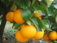 Arance (secondo frutto principale del paese)  - San carlo di chiusa sclafani (1456 clic)