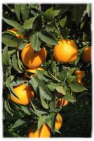 Arance (secondo frutto principale del paese)  - San carlo di chiusa sclafani (1487 clic)