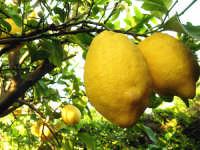 Limoni ( frutto che puoi trovare nel paese)  - San carlo di chiusa sclafani (1807 clic)