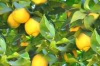 Limoni (frutto che trovi in paese)  - San carlo di chiusa sclafani (1515 clic)