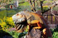 Iguana Charlie. . . Iguana nata nel 2005 di nome Charlie, lunghezza 160cm, peso 7 kg, molto docile. . .  Le iguane sono molto simili alle lucertole, ma più grosse e più lente. Allo stato adulto possiedono una caratteristica cresta sul dorso, molto più evidente nei maschi che nelle femmine. La testa delle femmine è arrotondata, quella dei maschi triangolare. Le iguane sono proprie del Sudamerica, vivono infatti nella fascia che va dal Messico meridionale fino al Brasile centrale, al Paraguay, alla Bolivia.  - Corleone (4656 clic)