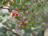 Amarena selvatica in maturazione  - Cinisi (2505 clic)