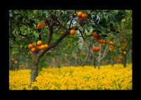 fiori e arance  - Paternò (5803 clic)