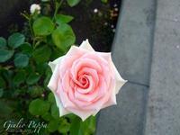 Rosa rosa   - Trecastagni (1040 clic)