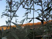 Paesaggio dietro gli alberi di ulivo  - Messina (4133 clic)