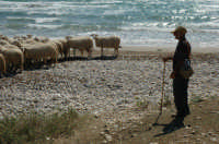 Sciacca transumanza in spiaggia 2006  - Sciacca (2288 clic)