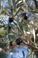 Olive  - Termini imerese (3773 clic)