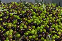 olive   - Caccamo (4889 clic)