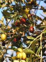 un altra sorta di olive :) mi piace quest albero  - Termini imerese (3370 clic)