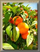 produzione locale di arance  - Licata (2551 clic)