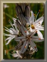 fiori tipici del territorio di Licata - Asfodelo  - Licata (2021 clic)