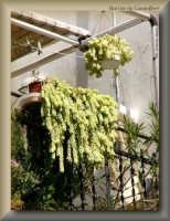 un balcone fiorito  - Licata (2625 clic)