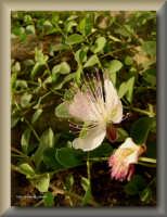 il cappero, pianta spontanea della macchia mediterranea locale  - Licata (2689 clic)