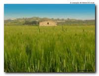 grano di maggio  - Licata (2796 clic)