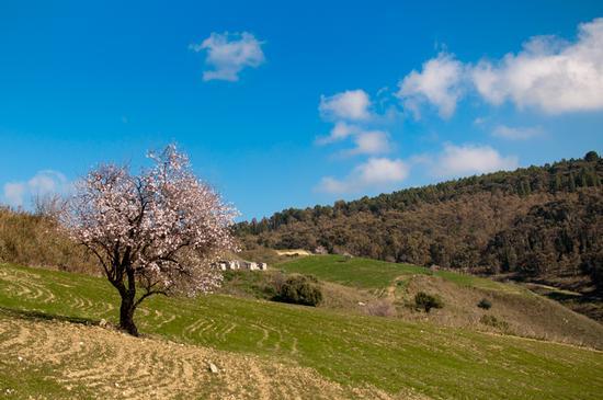 Mandrolo in fiore - CALTANISSETTA - inserita il 12-Mar-12