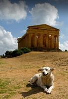 Riposo al tempio   - Agrigento (2041 clic)