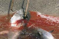 Un momento della mattanza del tonno  - Bonagia (5772 clic)