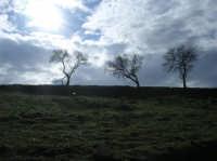 Alberi nell'area archeologica di Monte Giulfo  - Villarosa (5062 clic)