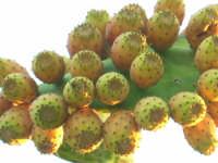 Fichidindia  - Mistretta (4823 clic)