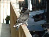 Colomba su un balcone di Via S.Agostino.Sullo sfondo, le bancarelle del mercato di Via Bandiera. PAL
