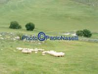 Gregge di pecore, nei pressi di un'ansa del Fiume Morello,nei dintorni del bivio che da Villapriolo