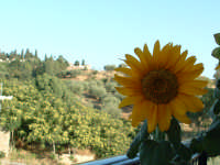 Girasoli in balcone, Contrada Acquanova.  - Villarosa (7049 clic)