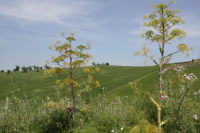 Paesaggio primaverile  - Agira (3558 clic)
