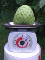 Frutto di annona cherimola da kg 1,5 in c.da gallina ad Avola   - Avola (10346 clic)