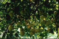 inerno pianta limonefemminello siracusano I.G.P.  - Avola (4115 clic)