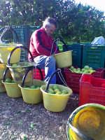 avola raccolta limoni.Il mitico don Paolo Andolina alias mangianninni separa i limoni buoni dallo scarto  - Avola (3492 clic)