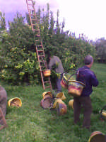 Raccolta limoni ad avola  - Avola (3611 clic)