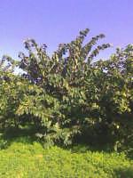 C.da Gallina Avola:pianta di annona cherimiola  - Avola (3420 clic)